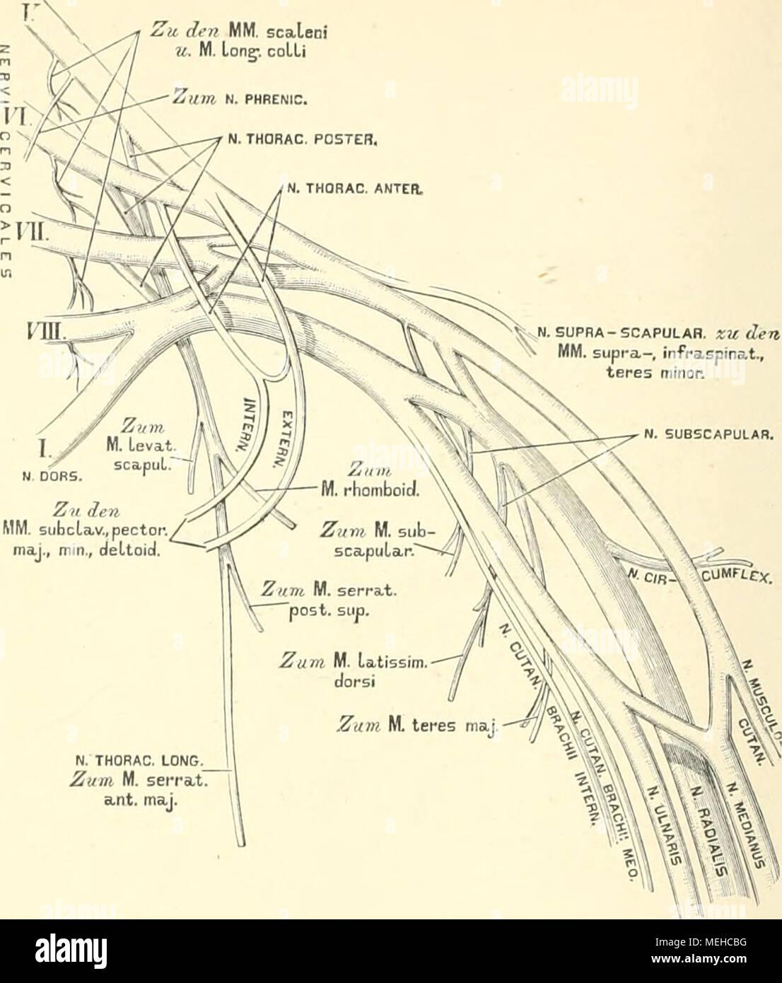 Die descriptive und topographische Anatomie des Menschen . N. TH0P ...
