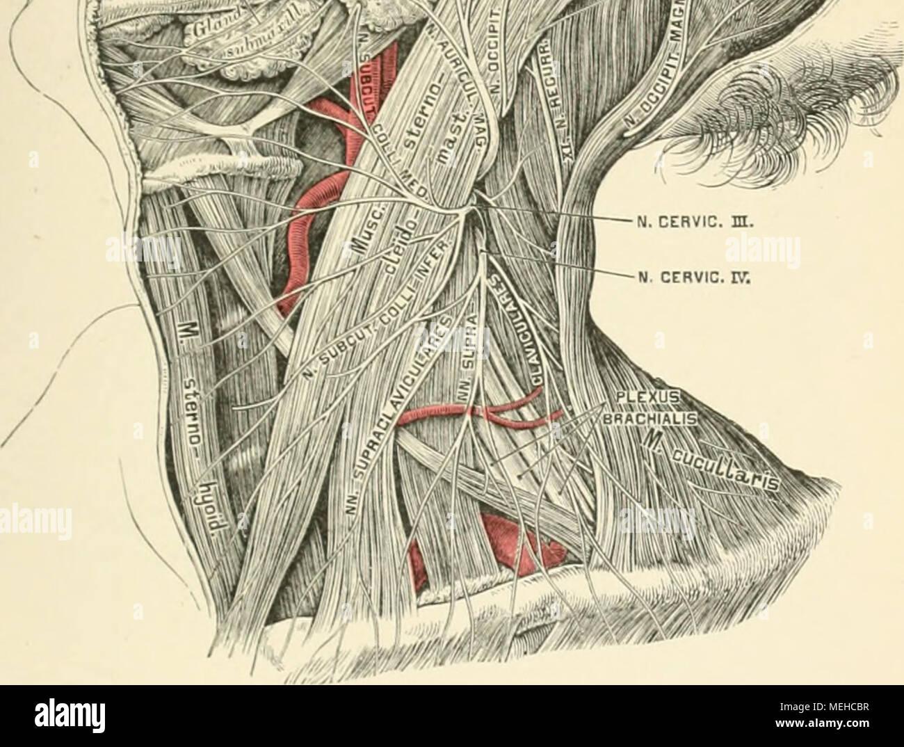 Die descriptive und topographische Anatomie des Menschen . 589. Die ...