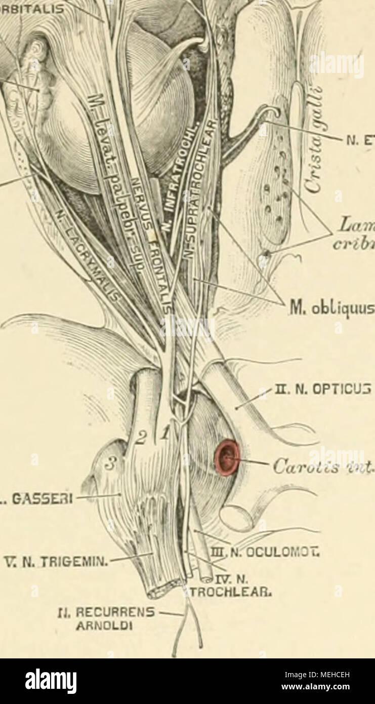 Die descriptive und topographische Anatomie des Menschen . t: n ...