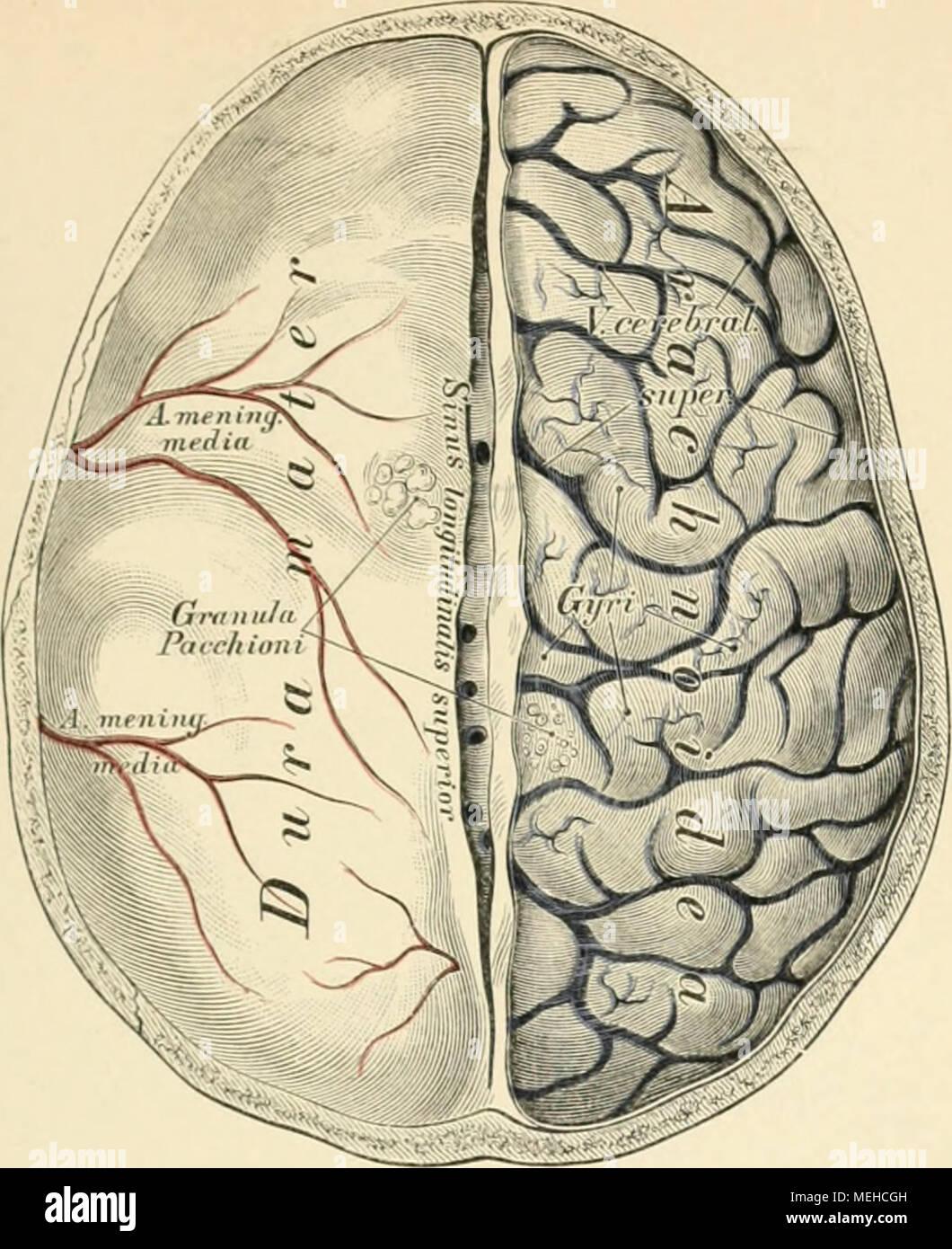 Tolle Anatomie Des Gehirns Wiki Ideen - Menschliche Anatomie Bilder ...