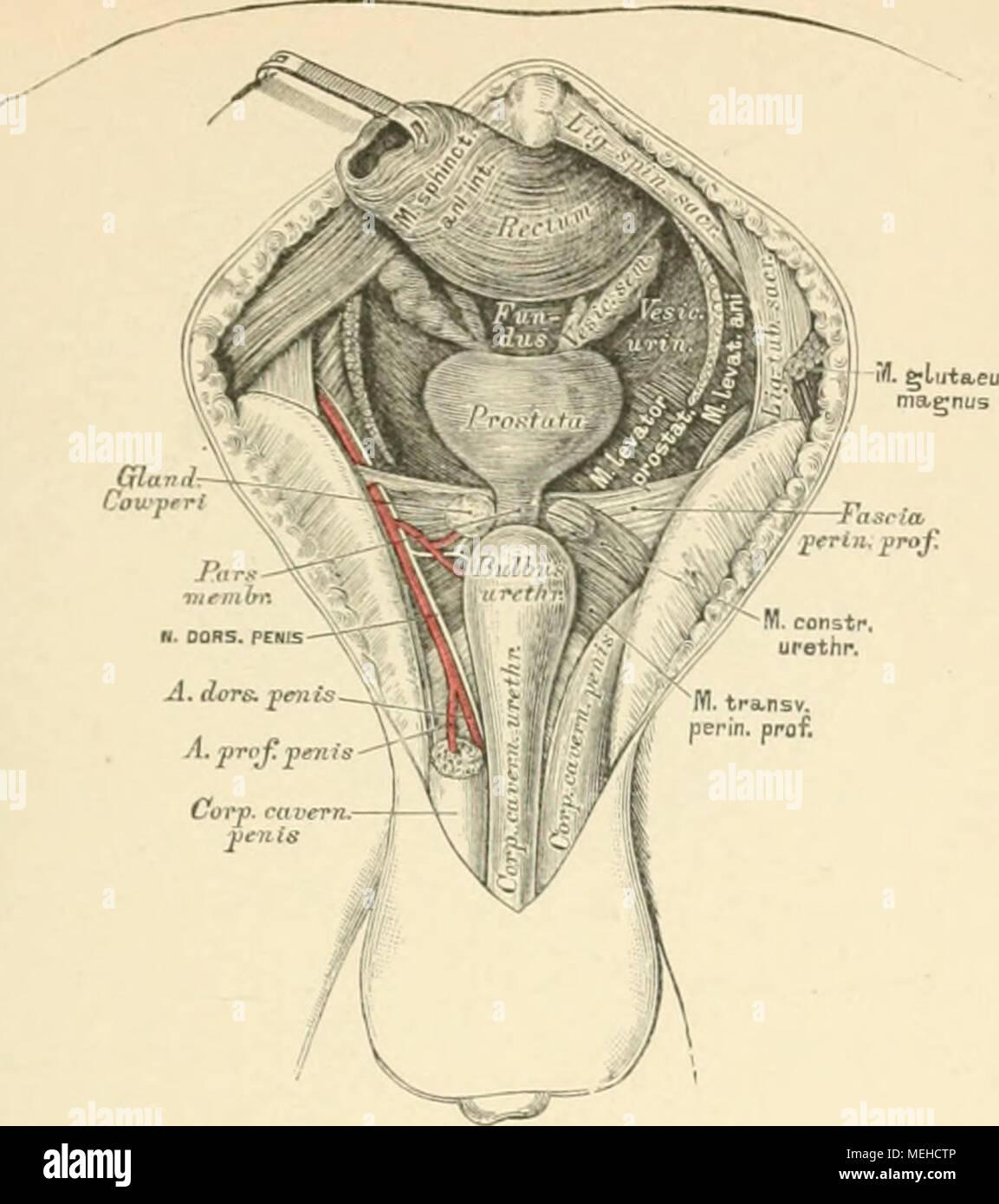 Die descriptive und topographische Anatomie des Menschen . 500 ...
