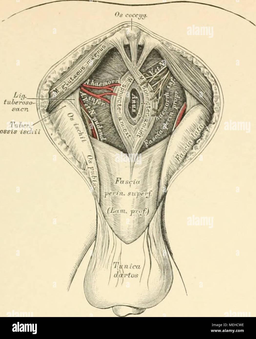 Die descriptive und topographische Anatomie des Menschen . 41*7 ...