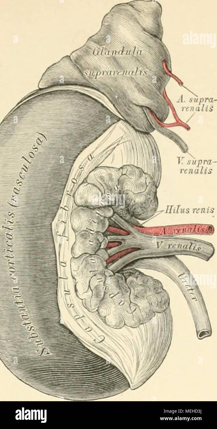 Fantastisch Innere Anatomie Einer Niere Fotos - Menschliche Anatomie ...