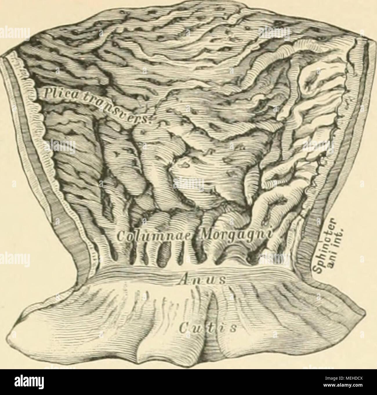 Groß Makroskopische Anatomie Des Dickdarms Bilder - Menschliche ...