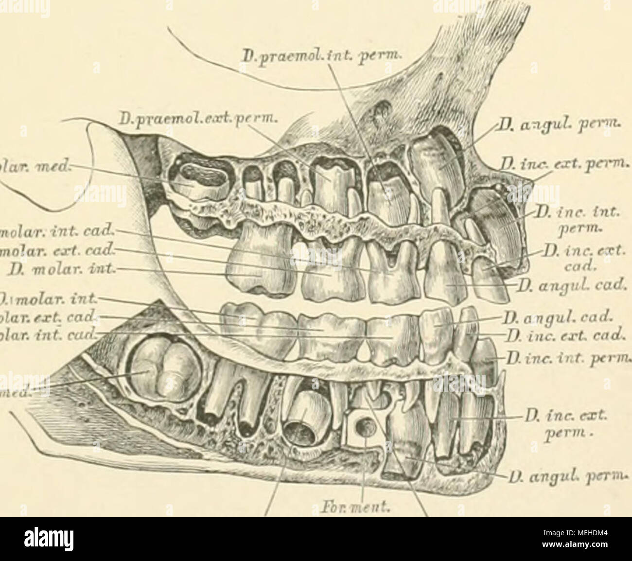 Tolle Zahnanatomie Prämolaren Ideen - Menschliche Anatomie Bilder ...