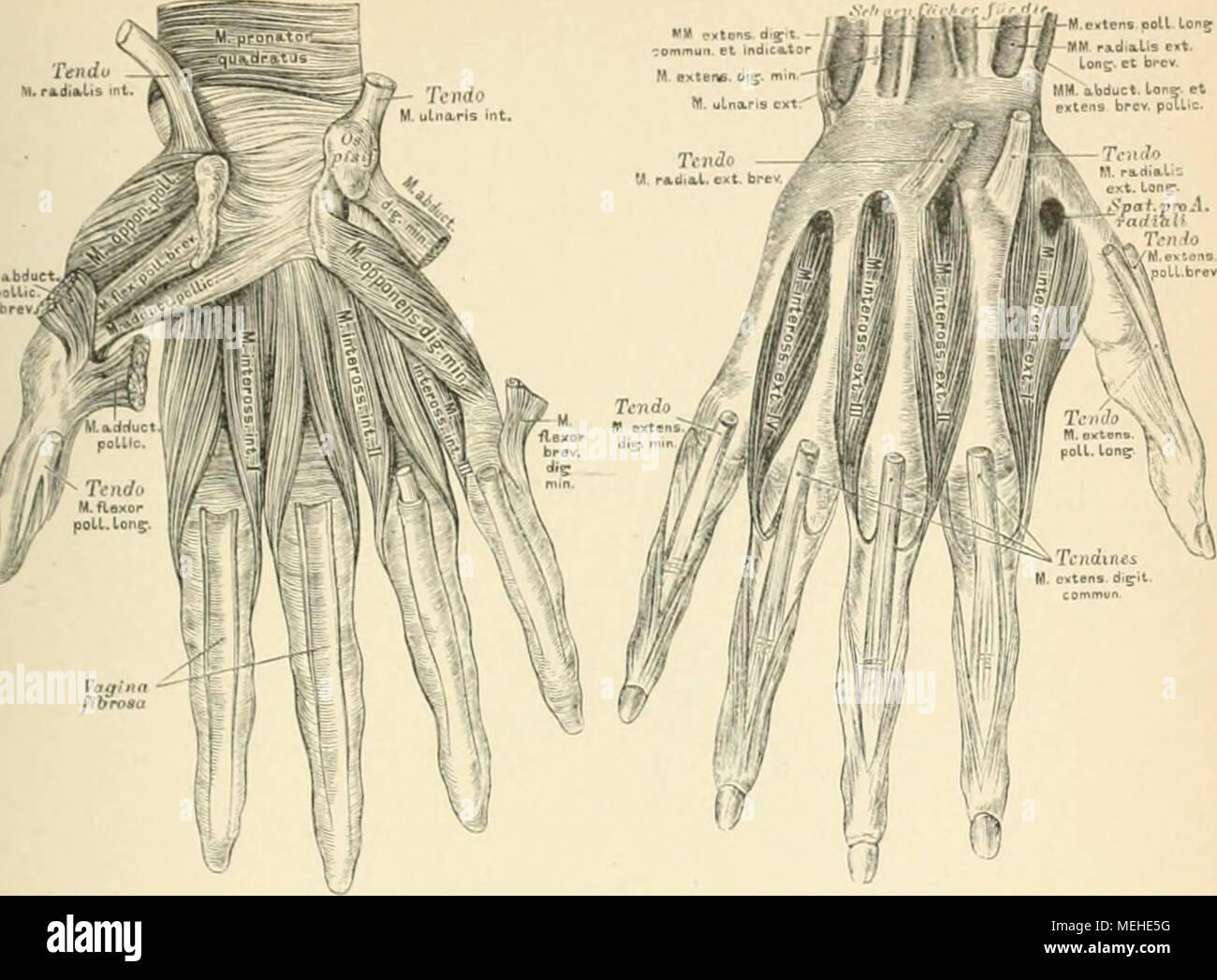 Die descriptive und topographische Anatomie des Menschen . 313. Die ...