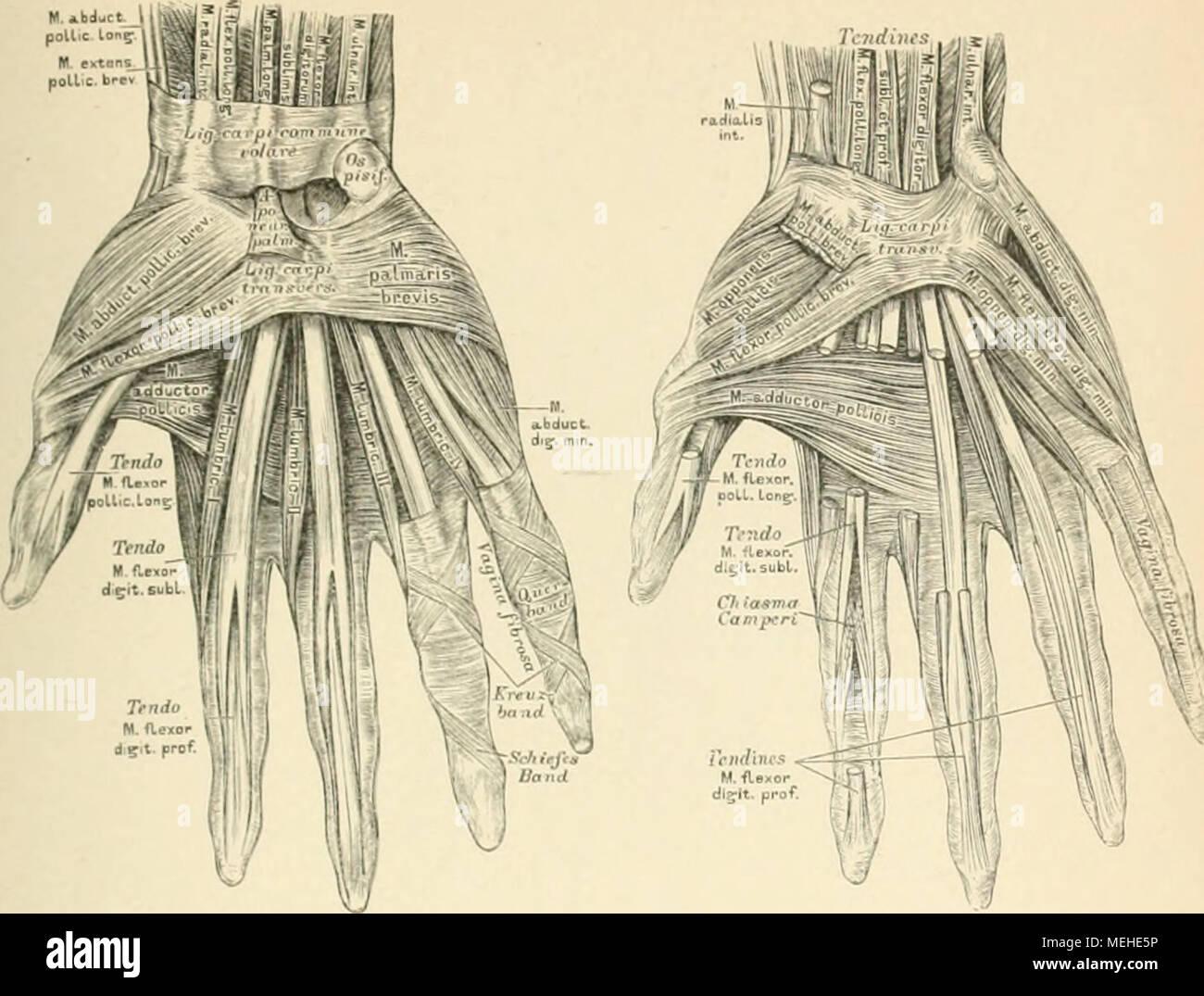 Ungewöhnlich Anatomie Des Menschen Hand Fotos - Anatomie Ideen ...