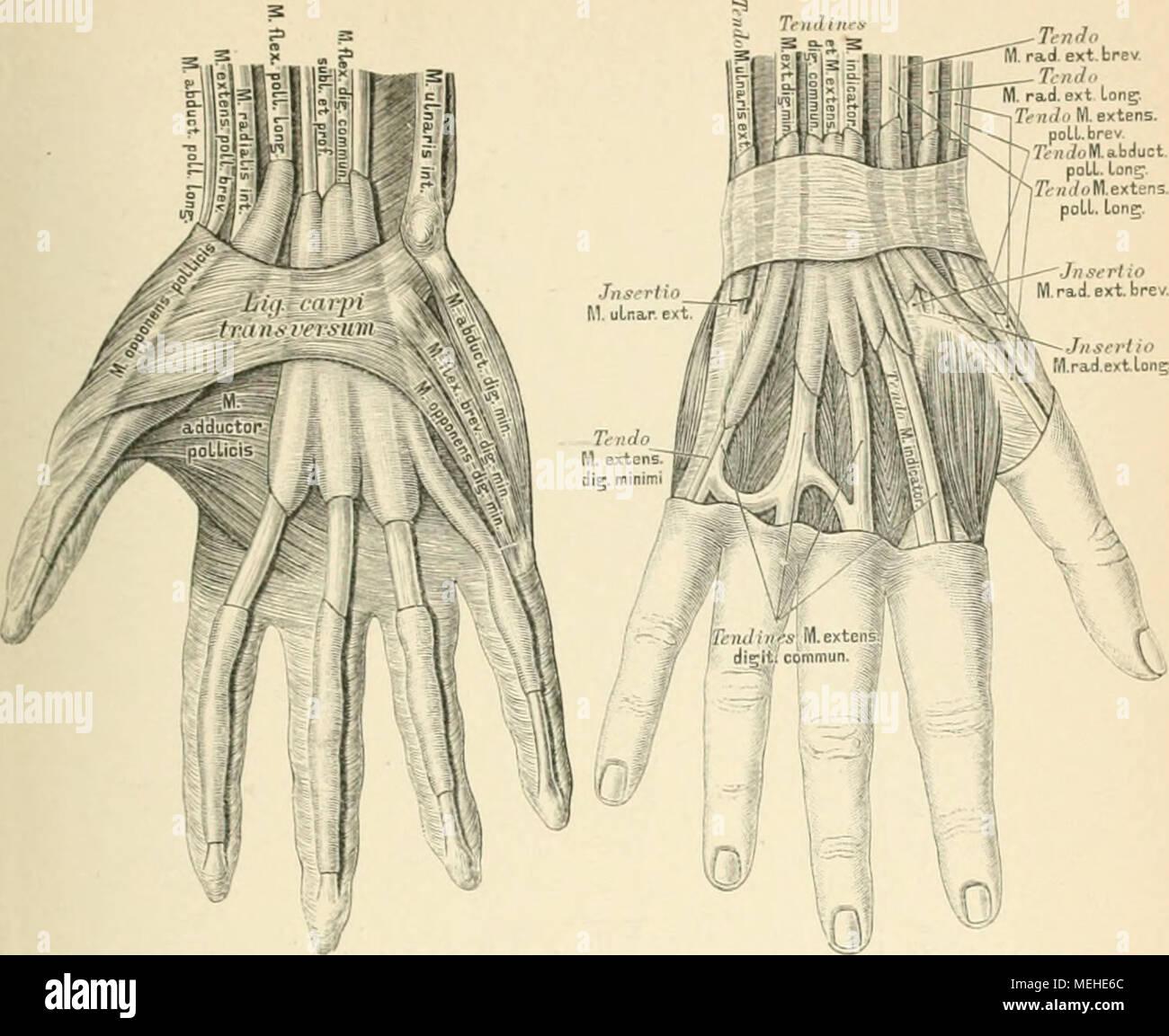 Ausgezeichnet Hand Sehnen Galerie - Menschliche Anatomie Bilder ...