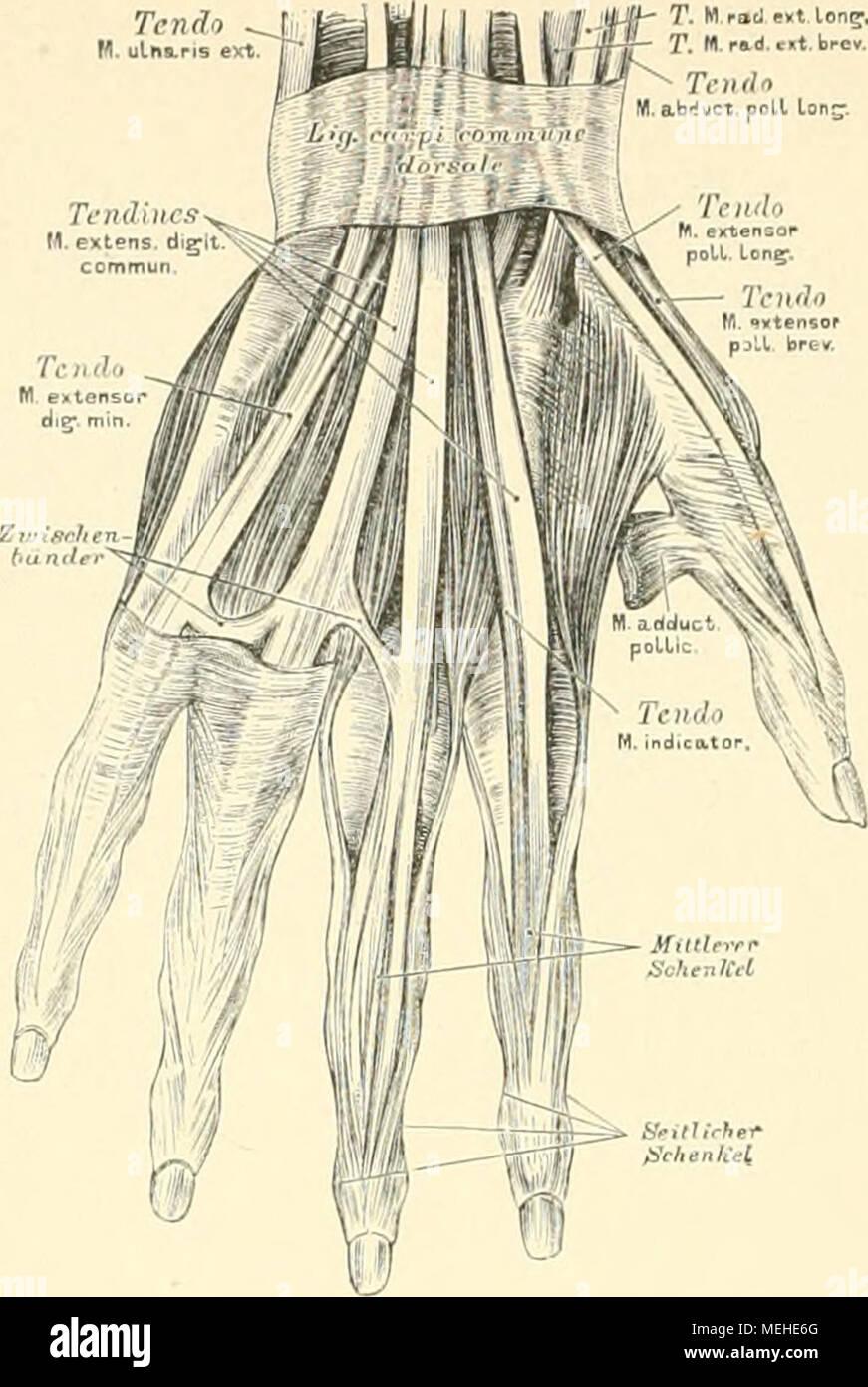 Atemberaubend Venen Des Armes Und Der Hand Galerie - Physiologie Von ...