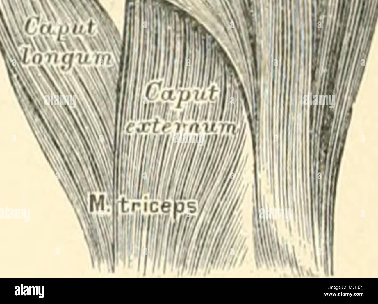 Die descriptive und topographische Anatomie des Menschen . 2\'JO. Die ...