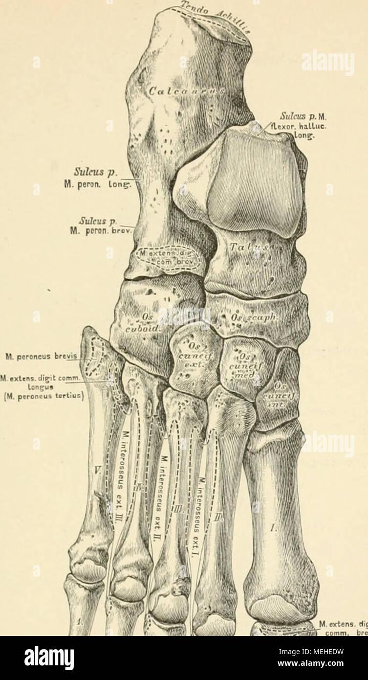 Ziemlich Makroskopische Anatomie Eines Langen Knochen Galerie ...