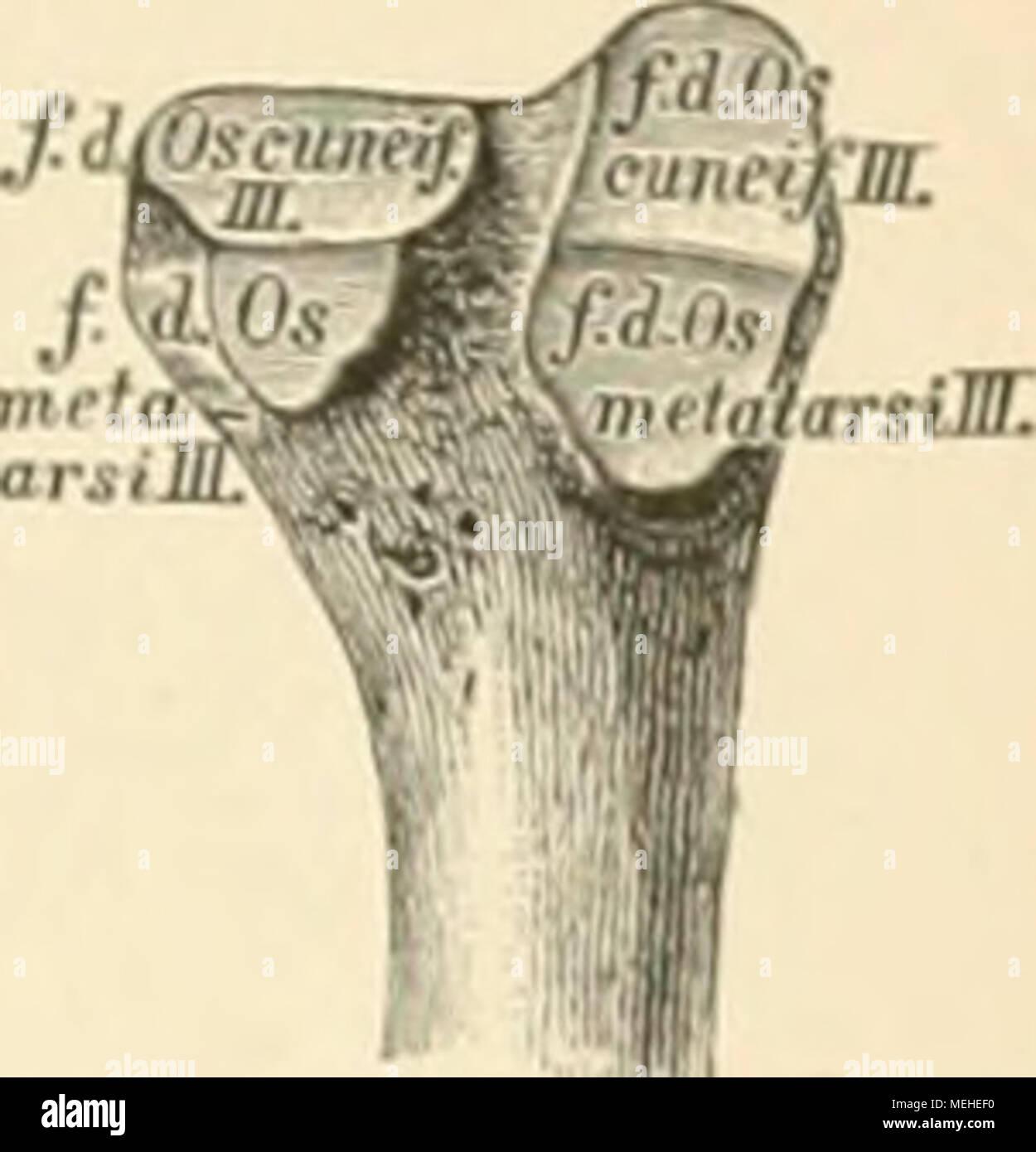Die descriptive und topographische Anatomie des Menschen . 93ühroi ...