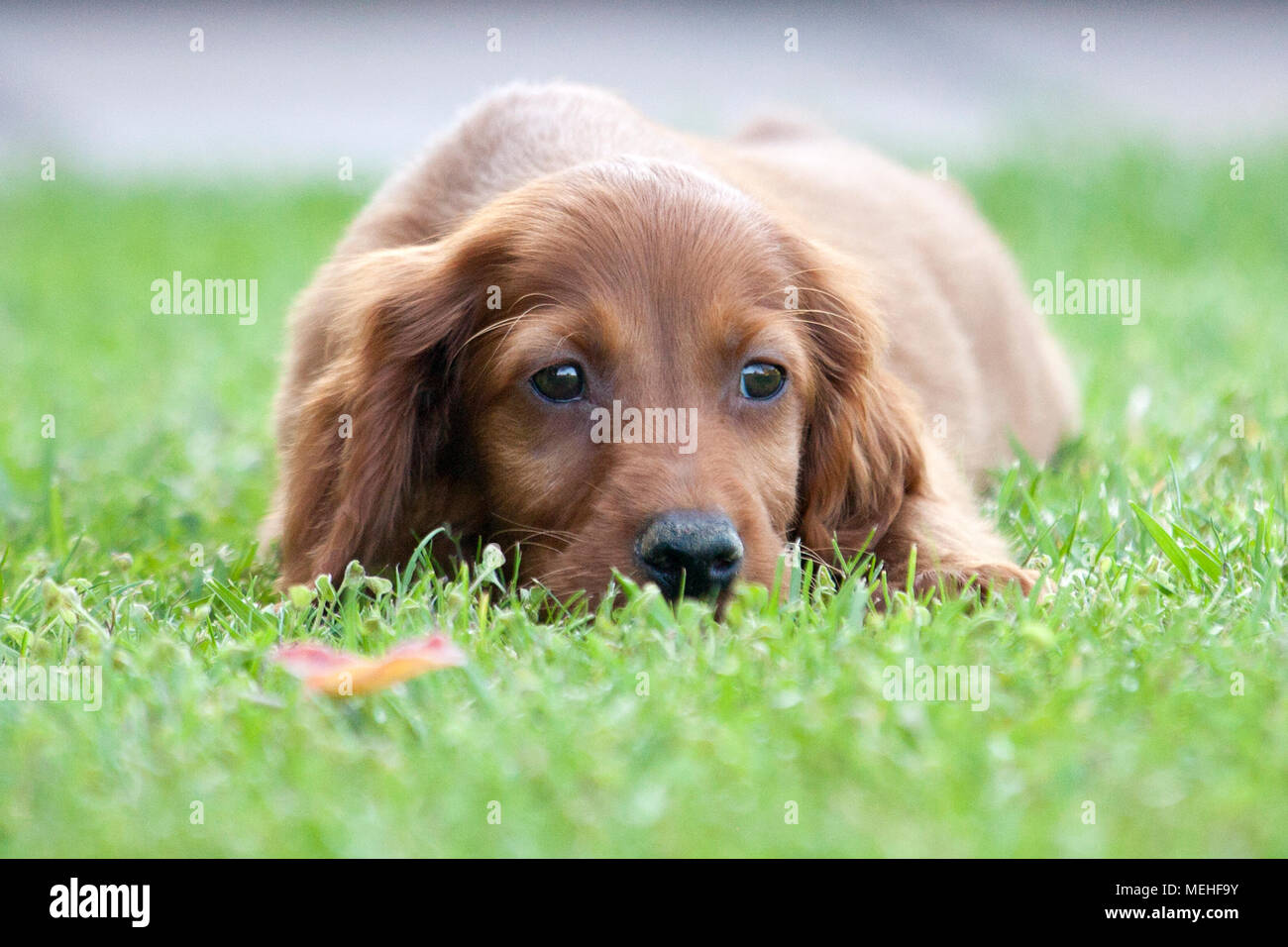 Little Irish Setter - Stock Image