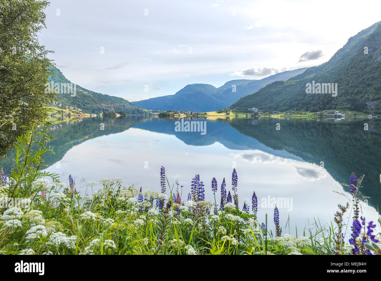 Barsnesfjorden with colourful lupins, Norway, idyllic fjord landscape with bloomy flowers at the shore and mirroring water surface - Stock Image