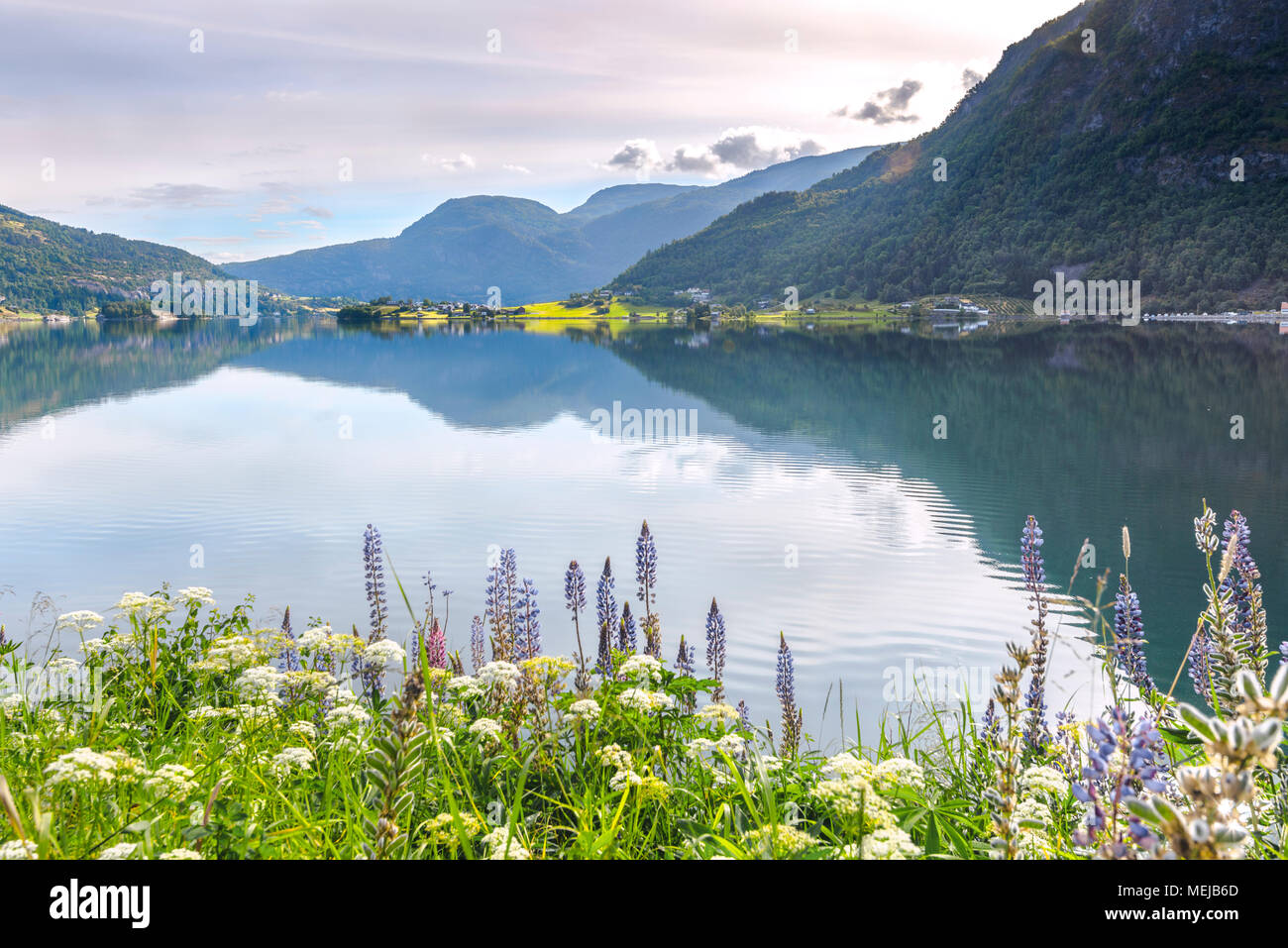 Barsnesfjorden with colourful lupins, Norway, picturesque landscape at the fjord with blooming flowers on the shore, side arm of the Sognefjorden - Stock Image