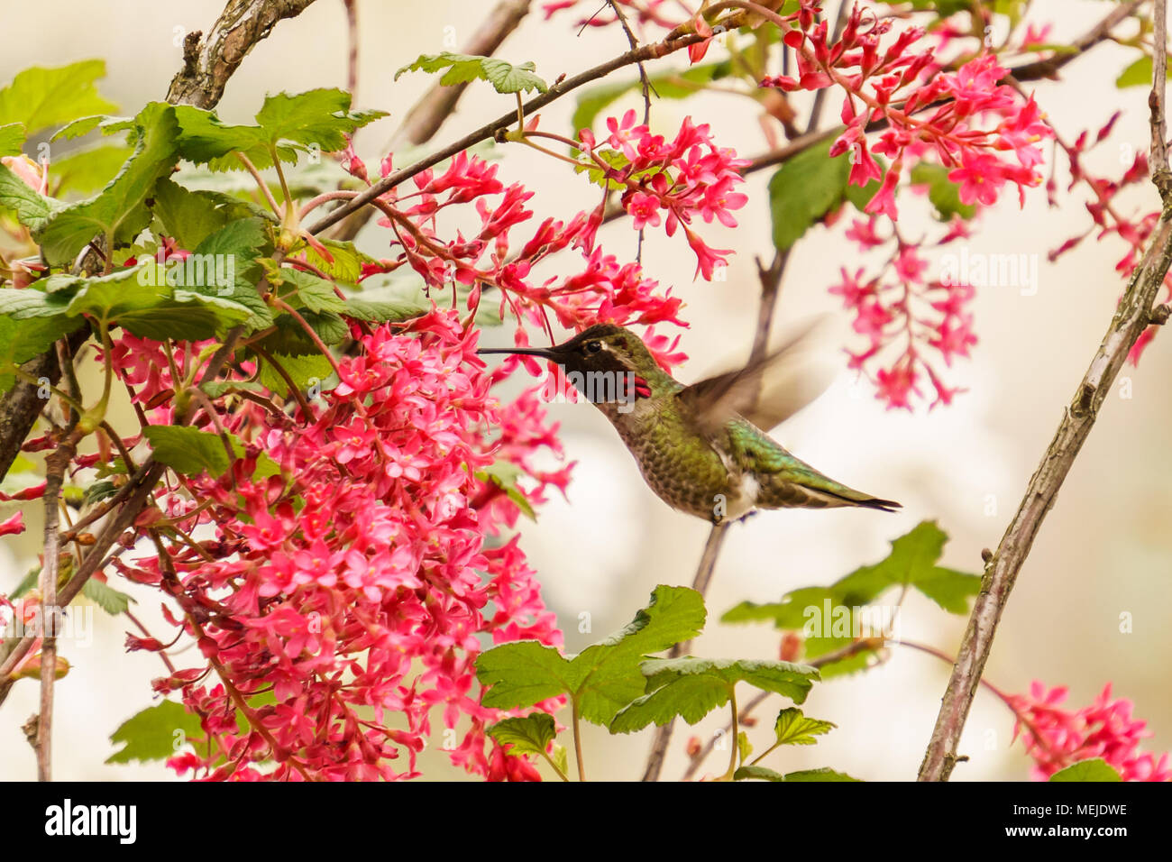 Annas Hummingbird feeding on nectar from a flowering Red Currant - Stock Image