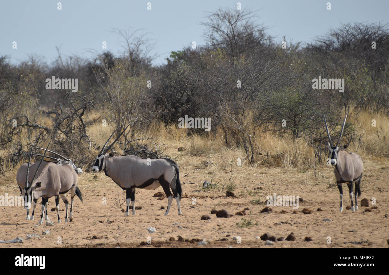 Oryx in Namibia Stock Photo