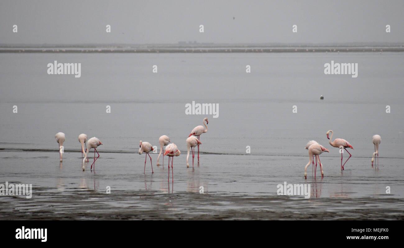 Flamingos in Namibia - Stock Image