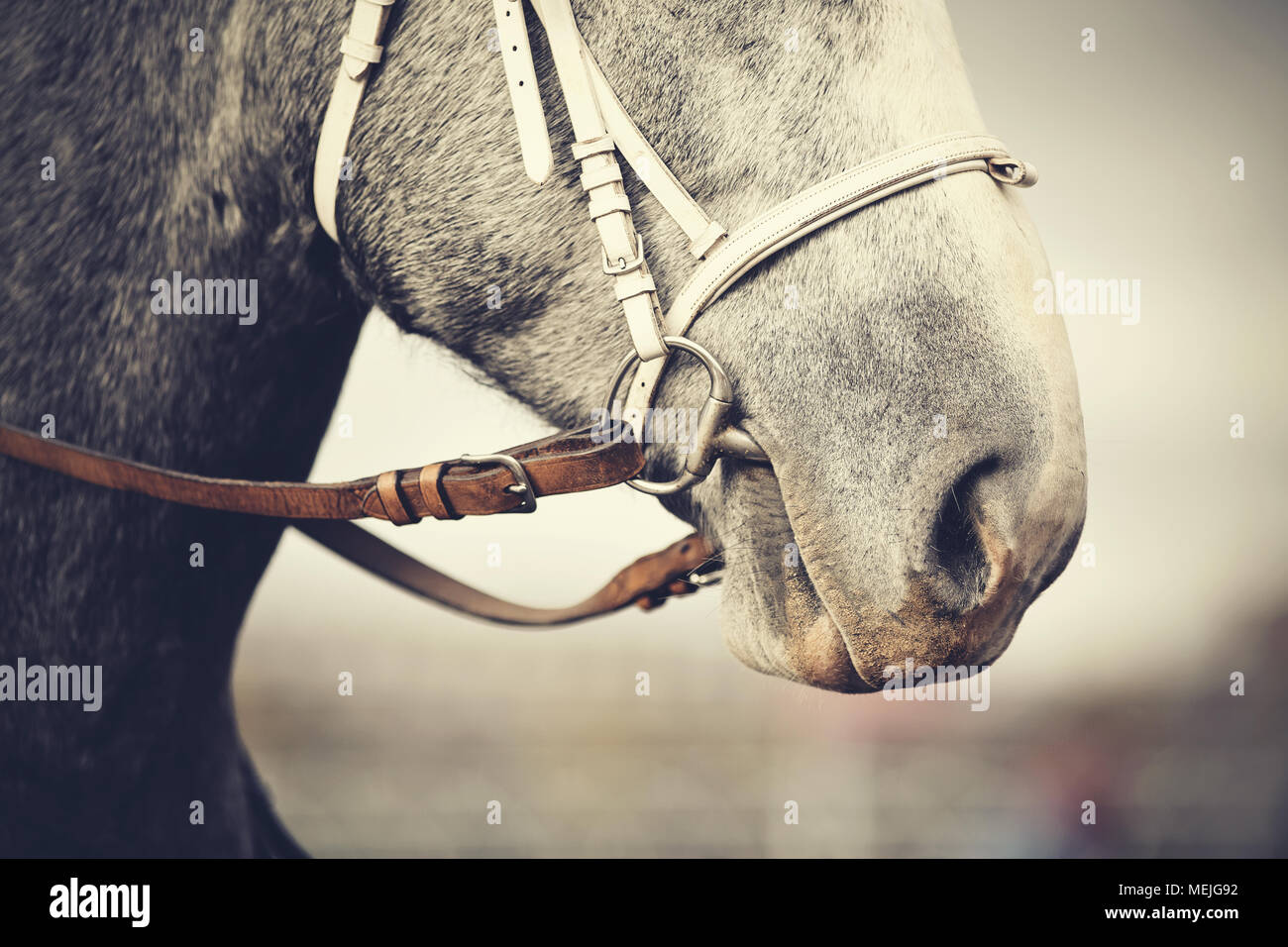 Muzzle of a gray horse in a bridle. Stock Photo