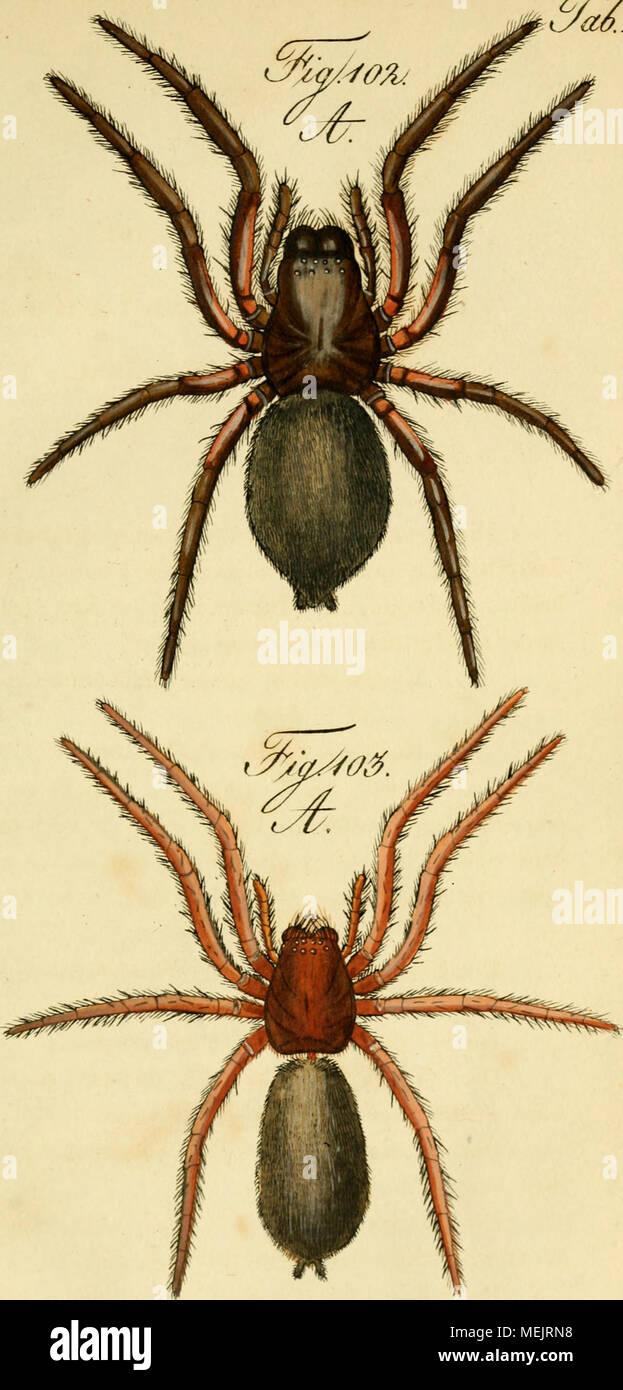 . Die Arachniden. Getreu nach der Natur abgebildet und beschrieben . 'a^.JLI. i'^^ S£ /o;^.. ^Ä ^t^,. 't^<^ fii,» /^l//(^<J.//^^tci. li y e/riy. ^ / /ma/i.tco/uu/', J'^fo- - Stock Image