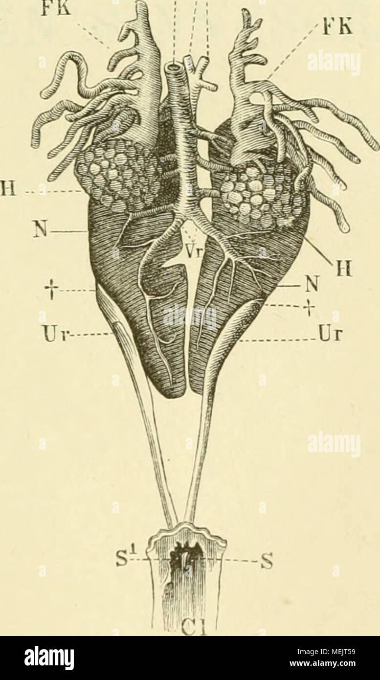 Erfreut Stabkranz Anatomie Galerie - Menschliche Anatomie Bilder ...