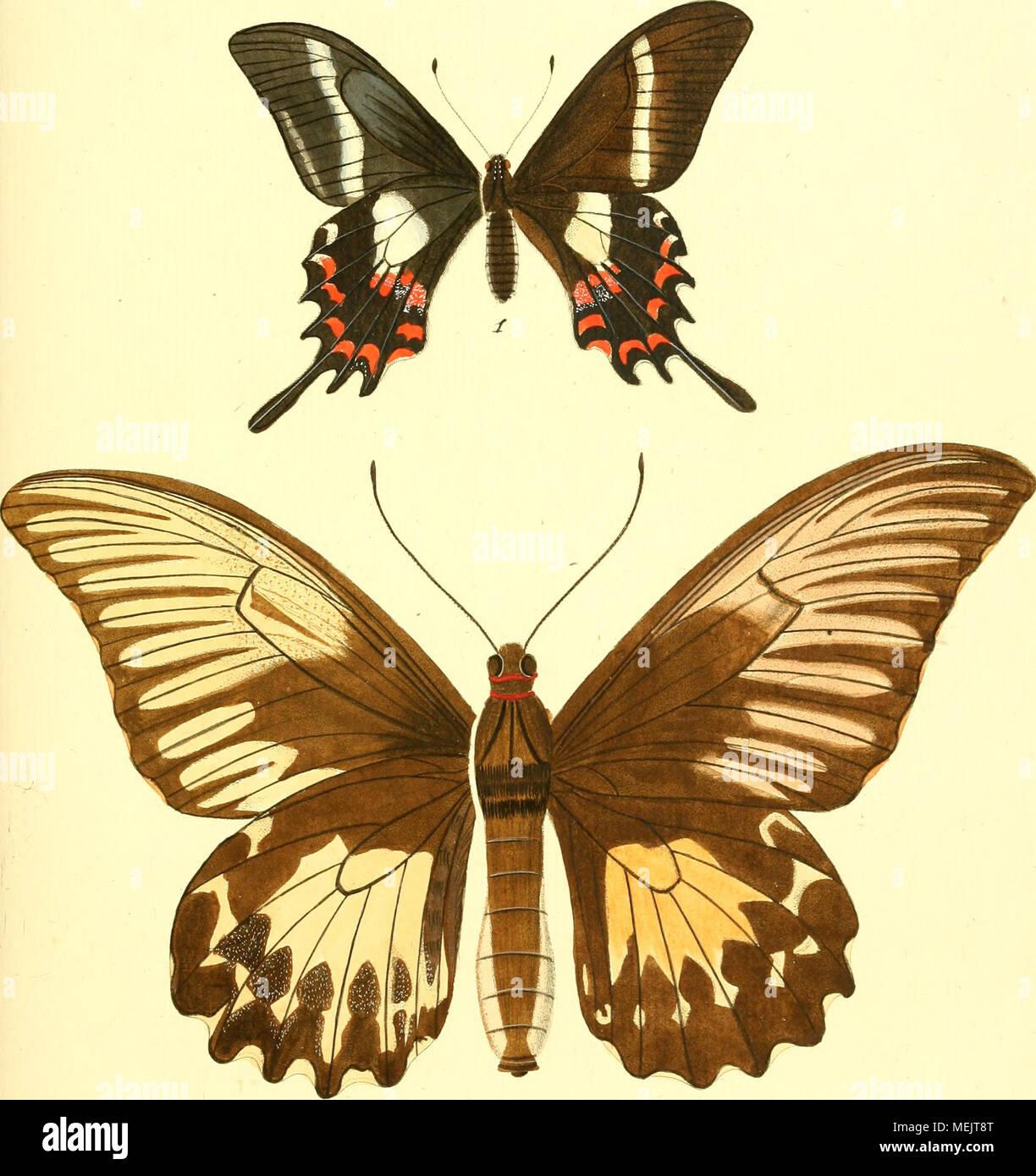 . Die ausländischen Schmetterlinge in Abbildungen nach der Natur . PcT nilioii. exotic. ^a. i. .y^fectoru/es.cTi^.^. c â¬m/t/iinui/an.9^ni. â >9^ rt^. - Stock Image