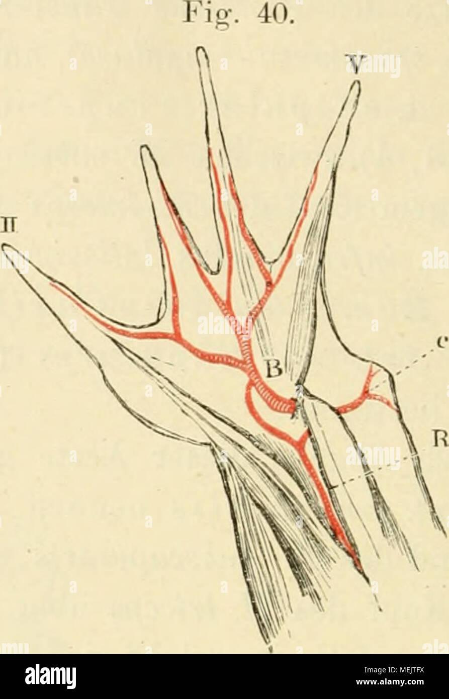 Die anatomie des frosches. Ein handbuch für physiologen, ärzte und ...