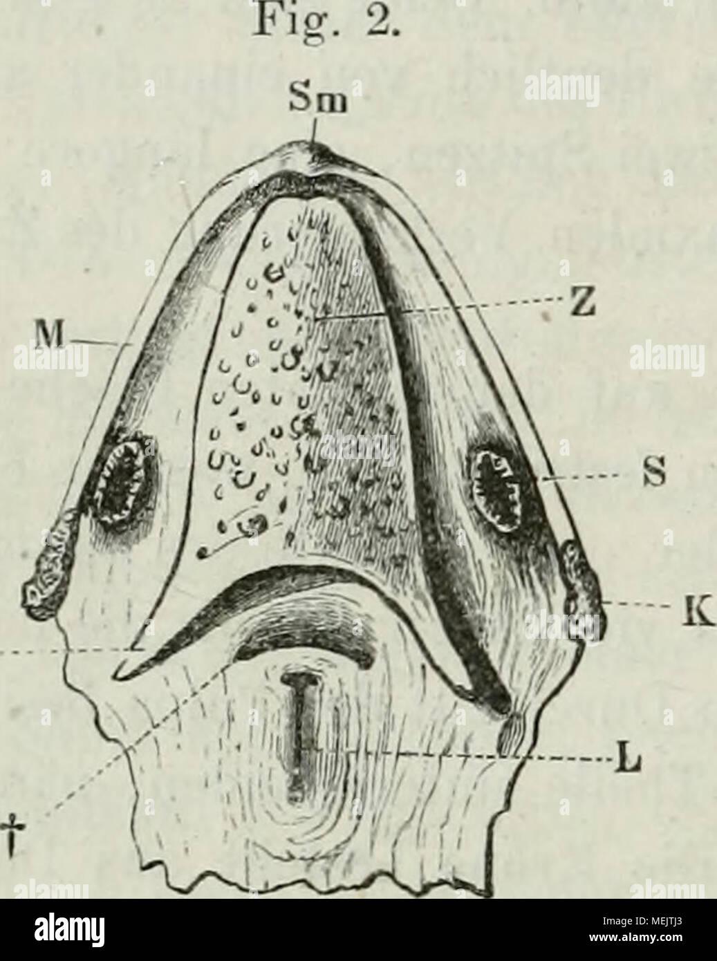 Die Anatomie des Frosches : ein Handbuch, . Boden der Mundhöhle. 31 ...