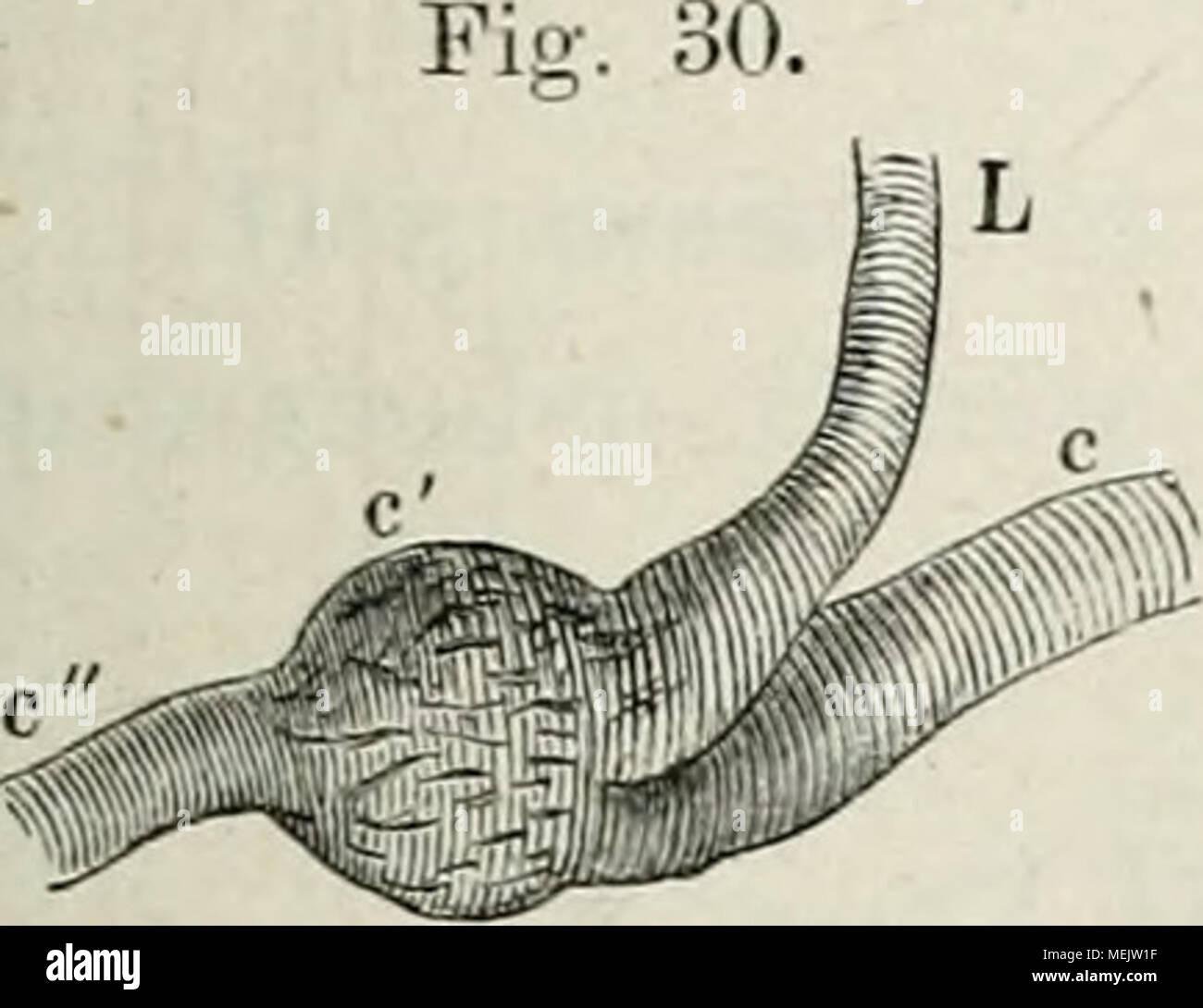Die Anatomie des Frosches : ein Handbuch, . CarotiJendi\'üse der ...
