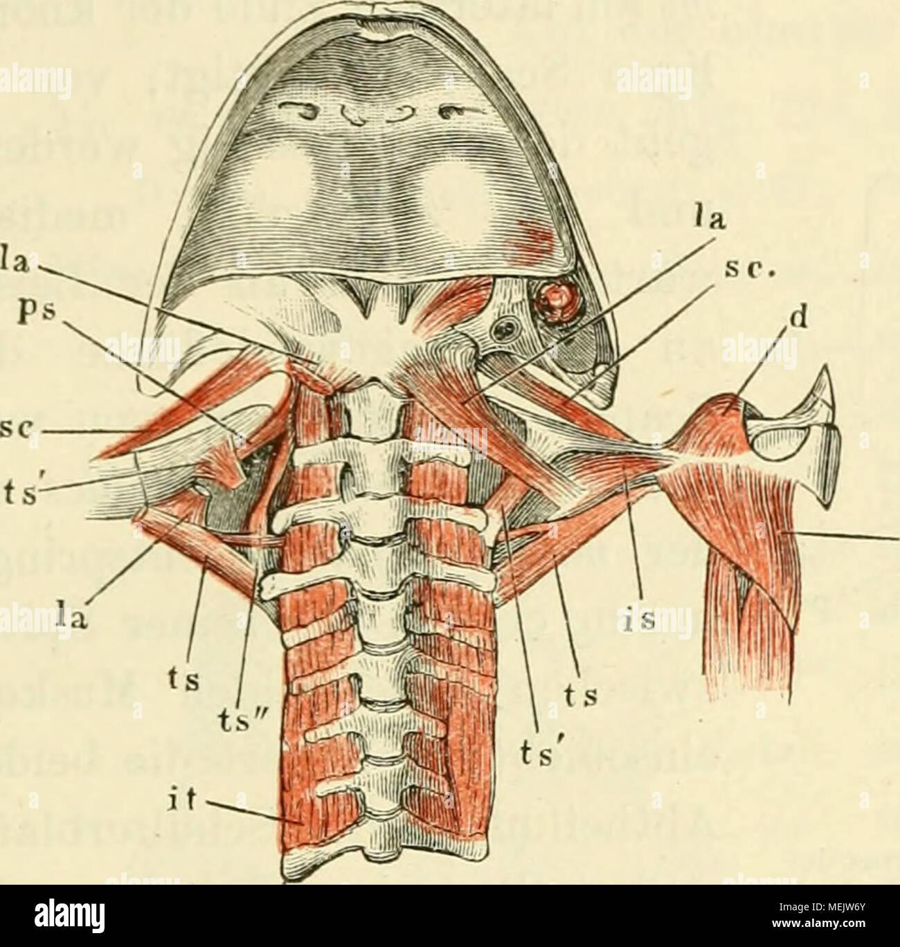 Die anatomie des frosches. Ein handbuch für physiologen, ärzte ...
