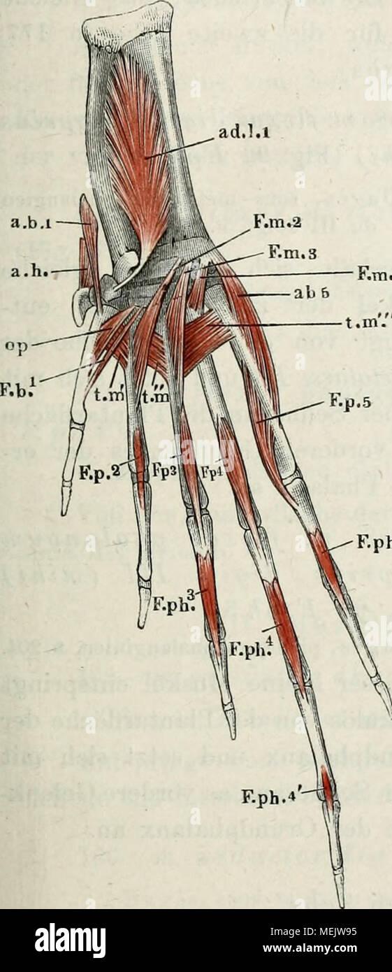 Ausgezeichnet Ischiasnerv Natürlich Anatomie Fotos - Menschliche ...
