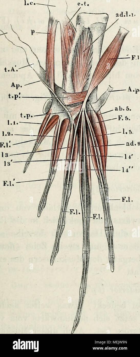 Die Anatomie des Frosches : ein Handbuch, . Ic Muskeln der ...