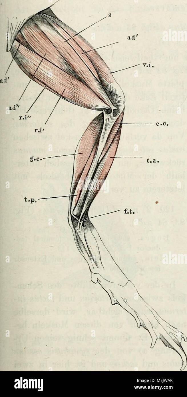 Die Anatomie des Frosches : ein Handbuch, . Muskeln des linken ...