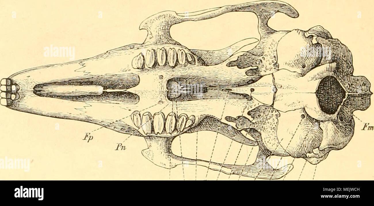 Die Anatomie des Kaninschens in topographischer und operativer ...