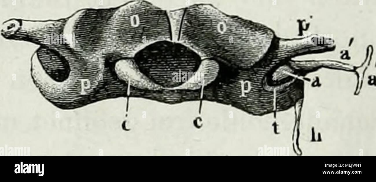 Die Anatomie des Frosches : ein Handbuch, . 1. Cartilago styloidea ...