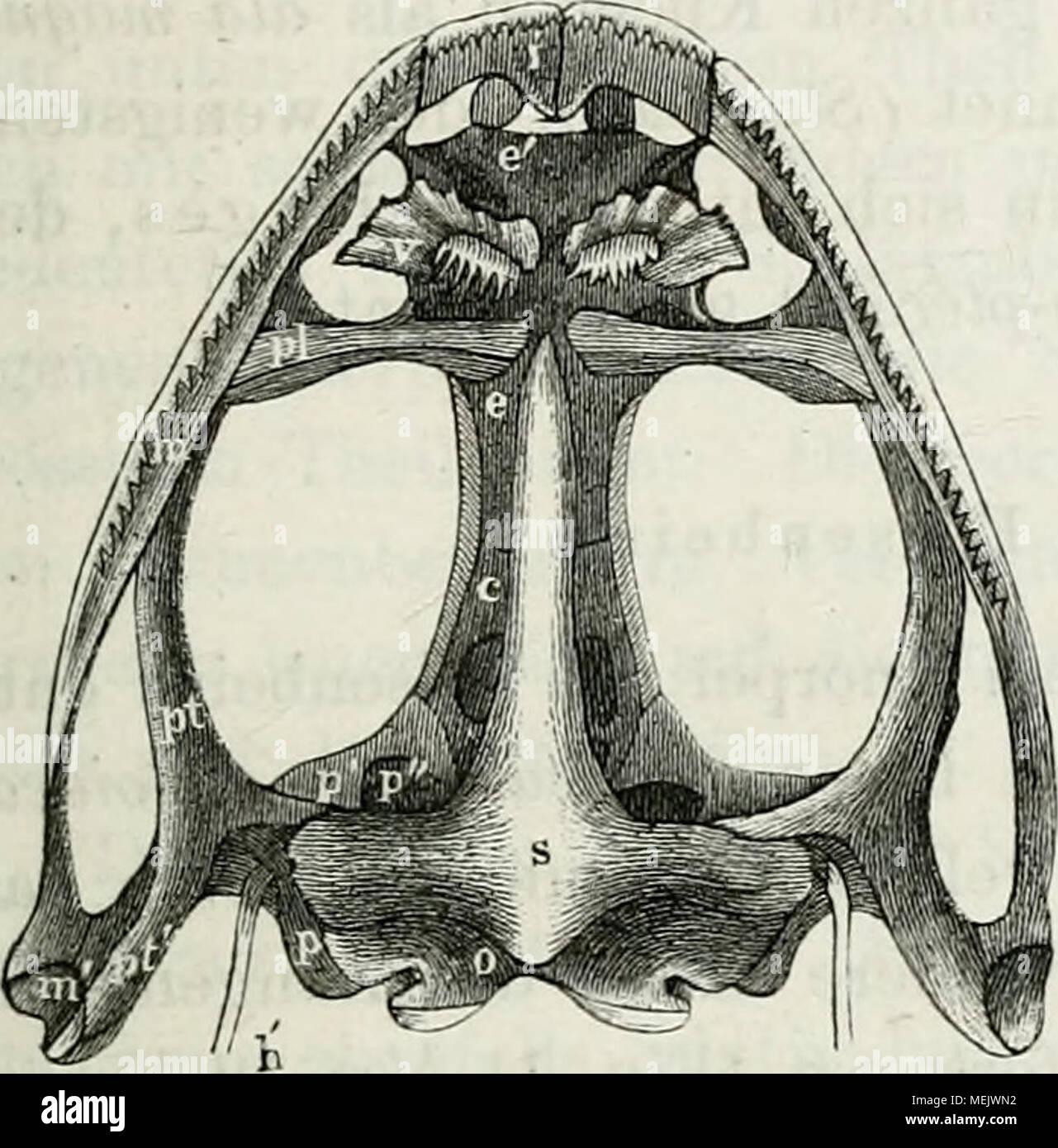 Die Anatomie des Frosches : ein Handbuch, . Schädel von rana ...