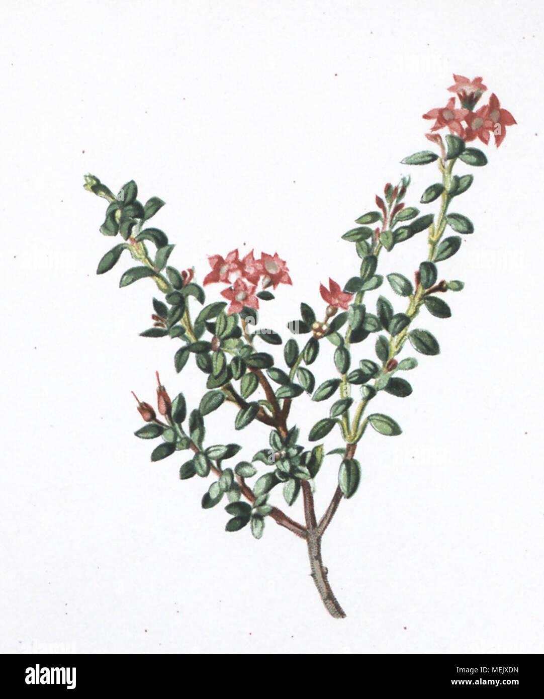 . Die Alpenpflanzen nach der Natur gemalt [Vol. 1] . / //f f/f >f/f //f//f â // /f ? ? ?//f/S//f/f /// - Stock Image
