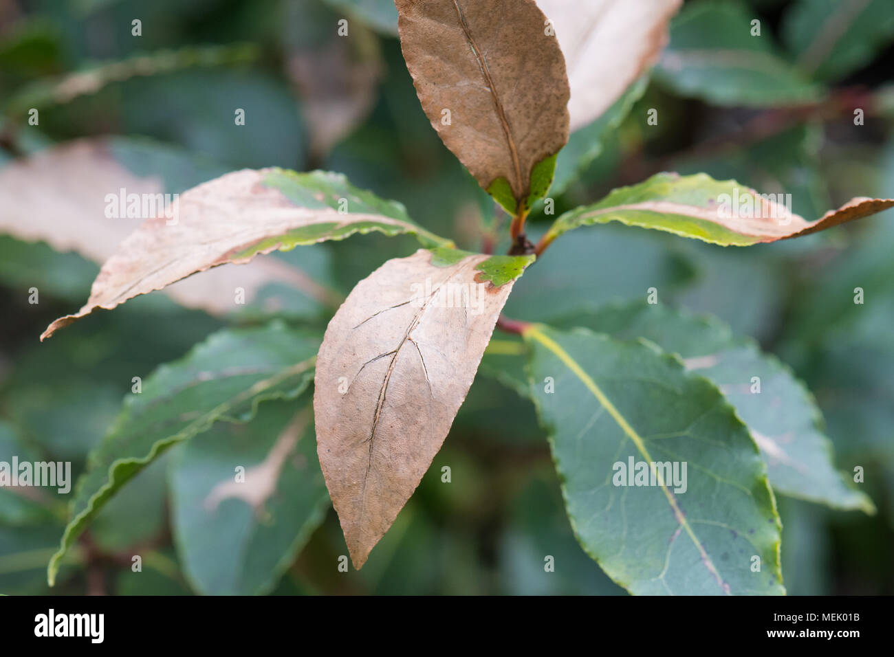 bay leaf - Bay Laurel (Laurus nobilis) plant with frost cold weather damage to leaves in uk garden - Stock Image