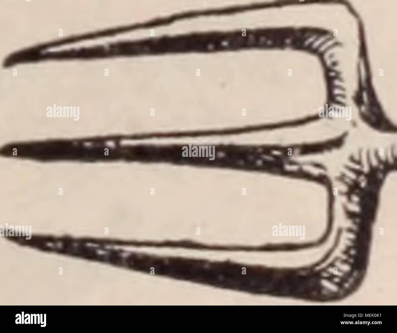 . Dictionnaire d'horticulture illustré / par D. Bois  préface de Maxime Cornu  avec la collaboration de E. André ... [et al.]. . Fig. 910. 3739; Orcii. alb. t. 349. â Sép. et pét. spirales, brun clair, bordés de vert; labelle blanc, taché de lie de vin. â Mexique. Les T. réussissent près du verre, en paniers suspendus, à la lumière, sans trop de soleil, et avec un compost bien drainé de sphagnum et terre fibreuse. Il faut les planter un peu au des- sous des bords du pot, pour que les grappes pen- dantes ne se perdent pas dans le sol. Ach. F. Trichopteris. Voir Alsophila. TRICHOSMA L Stock Photo