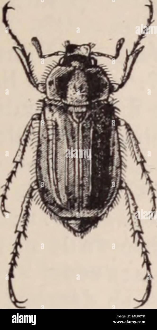 . Dictionnaire d'horticulture illustré / par D. Bois  préface de Maxime Cornu  avec la collaboration de E. André ... [et al.]. . FlR.761. â RuiZOTROGUE.RlIIZOTROGUSSOLSTITlA.HS L. RHIZOTROGUE. {Bhizotrogus Lat.) Genre de Coléoptères de la famille des Scarabéides, dont les représentants sont de taille moyenne et se distinguent des véritables Hannetons par la ré- duction du nombre des feuillets des antennes et par la disposition des palpes labiaux. Leur couleur est ordinairement d'un fauve testacé uniforme ou nuancé de brunâtre. Les larves, plus petites que celles du Hanneton commun, Stock Photo
