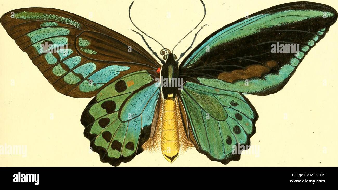 . Die ausländischen Schmetterlinge in Abbildungen nach der Natur . 'T'- - Stock Image