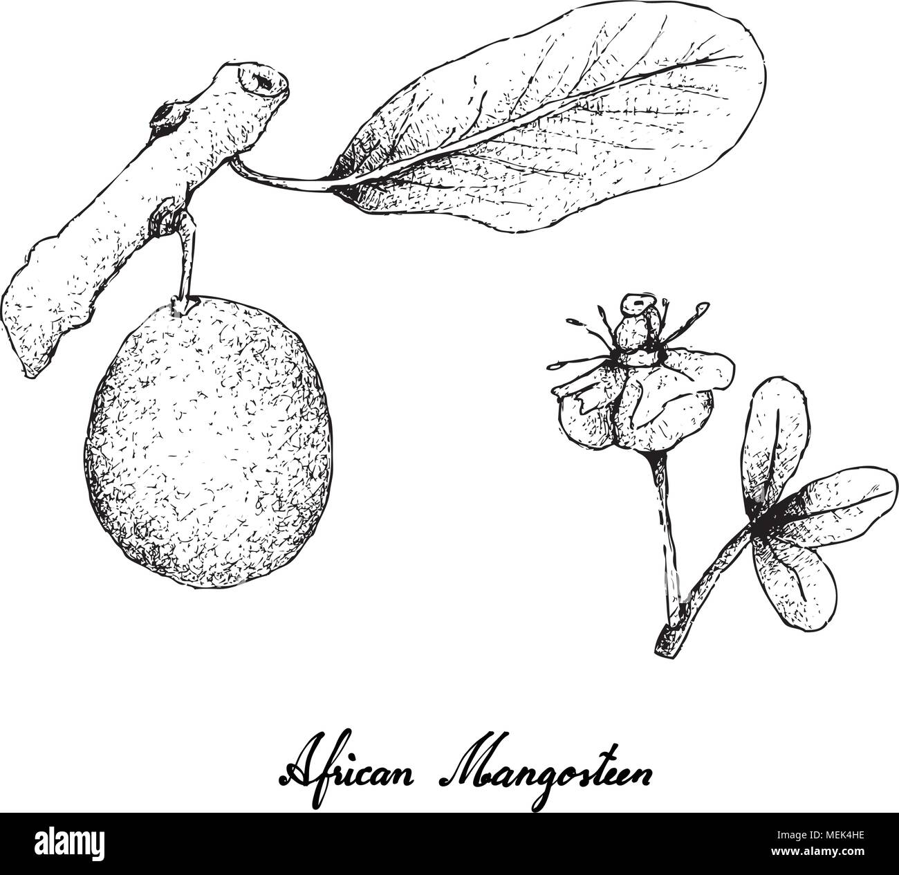 Tropical Fruits Illustration Of Hand Drawn Sketch African
