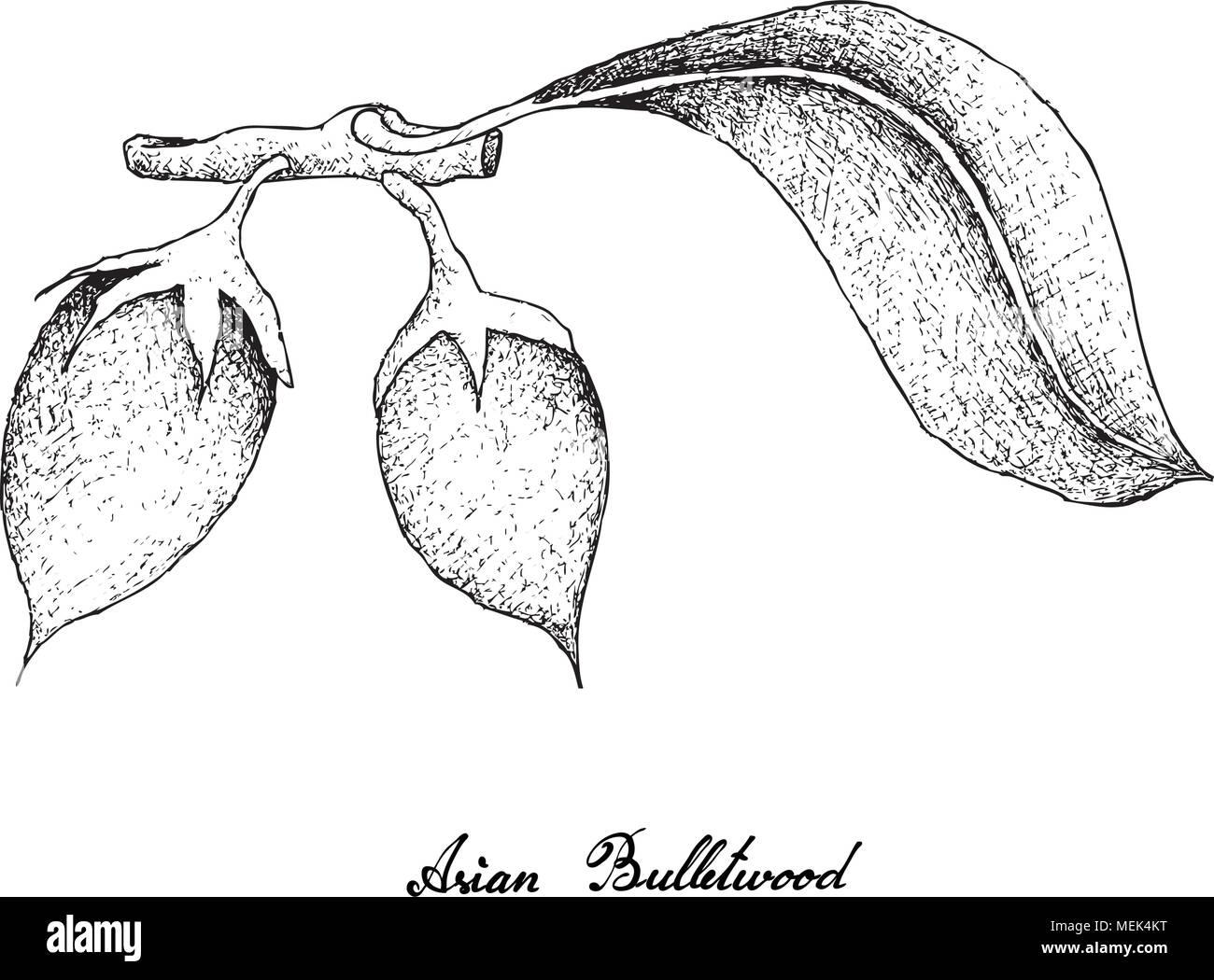 Tropical fruits illustration of hand drawn sketch asian bulletwood bukal tanjong tree medlar spanish cherry and mimusops elengi fruit isolated on