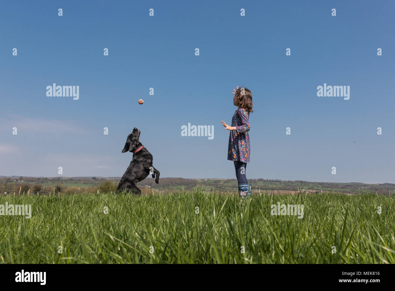A young girl playing ball with a black Labrador in a field - Stock Image