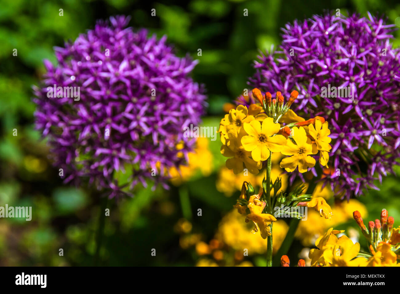 Globe headed  summer flowers in bright sunshine. Alliums and Ornamental onions. - Stock Image