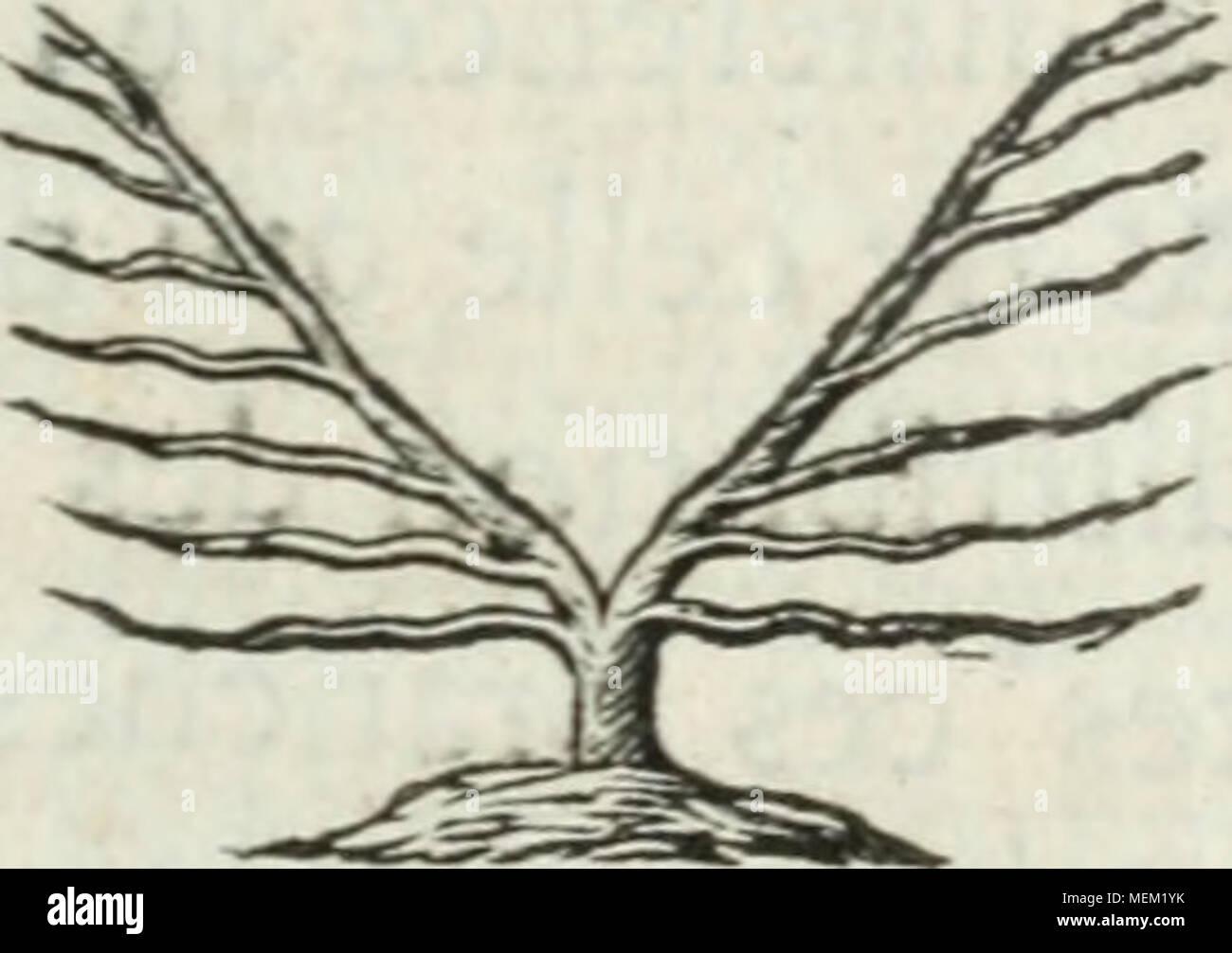 . Dictionnaire pour la théorie et la pratique du jardinage, et de l'agriculture, par principes, et démontrées d'après la physique des végetaux . Les deux réunis font la fi- gure préfente : s^il eft quel- ques branches en apparen- ce perpendiculaires, il faut cbferver qu'elles ne font point perpendi- culaires direcics, mais fur obliques , ce qui fait un point eflcntiel. Les arbres diringés univcrfcllement, fuivant la routine j font tout différens. Les branches y font difpofées comme autant de rayons qui partent du centre , fuivant la ptéfente figure. Mais il V/jf i/// cfl démont - Stock Image