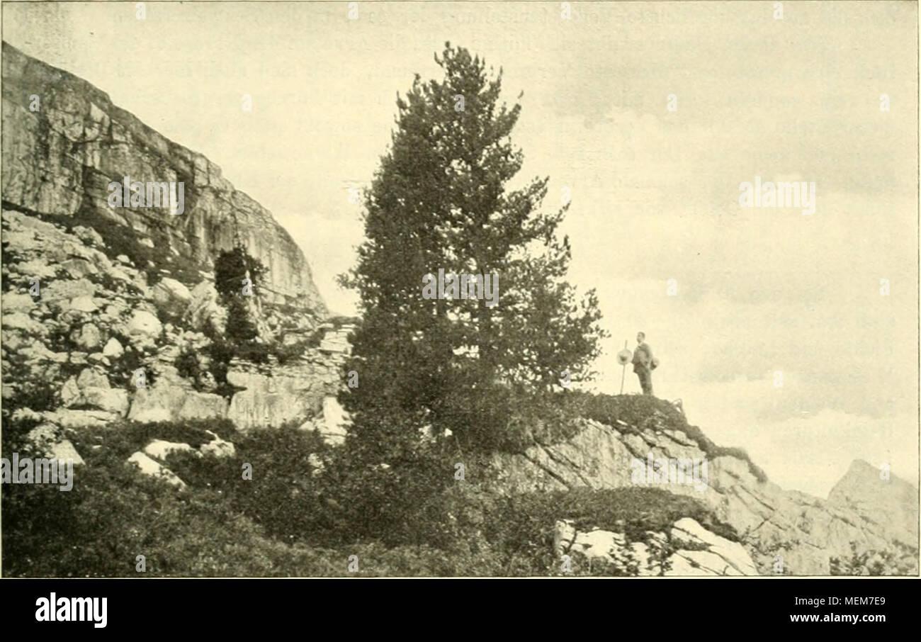 """. Die Arve in der Schweiz : ein Beitrag zur Waldgeschichte und Waldwirtschaft der Schweizer Alpen . Fig. :!•"""">. Arve als Felsständer am Scheibenstoll bei 1800 m, aul - Steinblock [Gault] üppig wuchernd. - Phot. I>r. G. Baumgartner. Anfrage schrieb mir Dr. G. Baumgartner unter dem ~2ö. März 1904 über dieses Vor- kommen: .Auf dem Gulmen sind nur noch ein paar ganz vereinzelte Arven vorhanden. Es ist auch unwahrscheinlich, dass deren Vorkommen dort früher häufiger war, wenig- stens finden sich weder alte Strünke vor. noch deuten irgendwelche historische Über- lieferungen darauf hin. Di Stock Photo"""