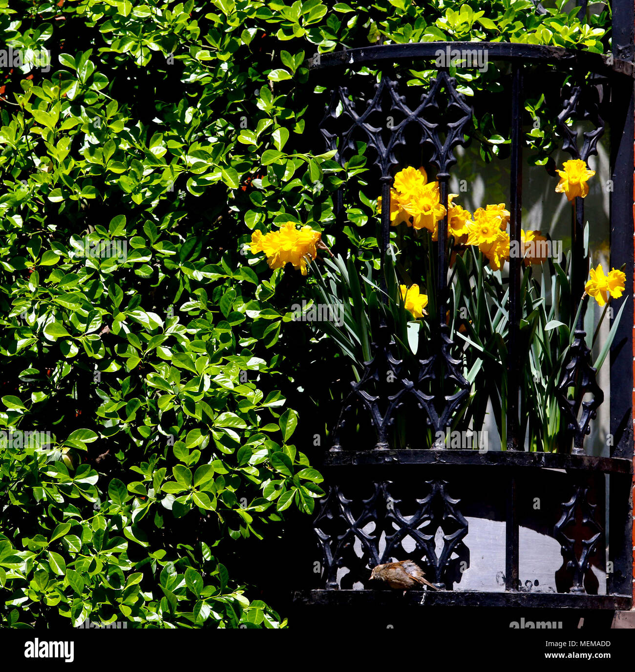 Green overgrown bush with yellow daffodils in window box - Stock Image