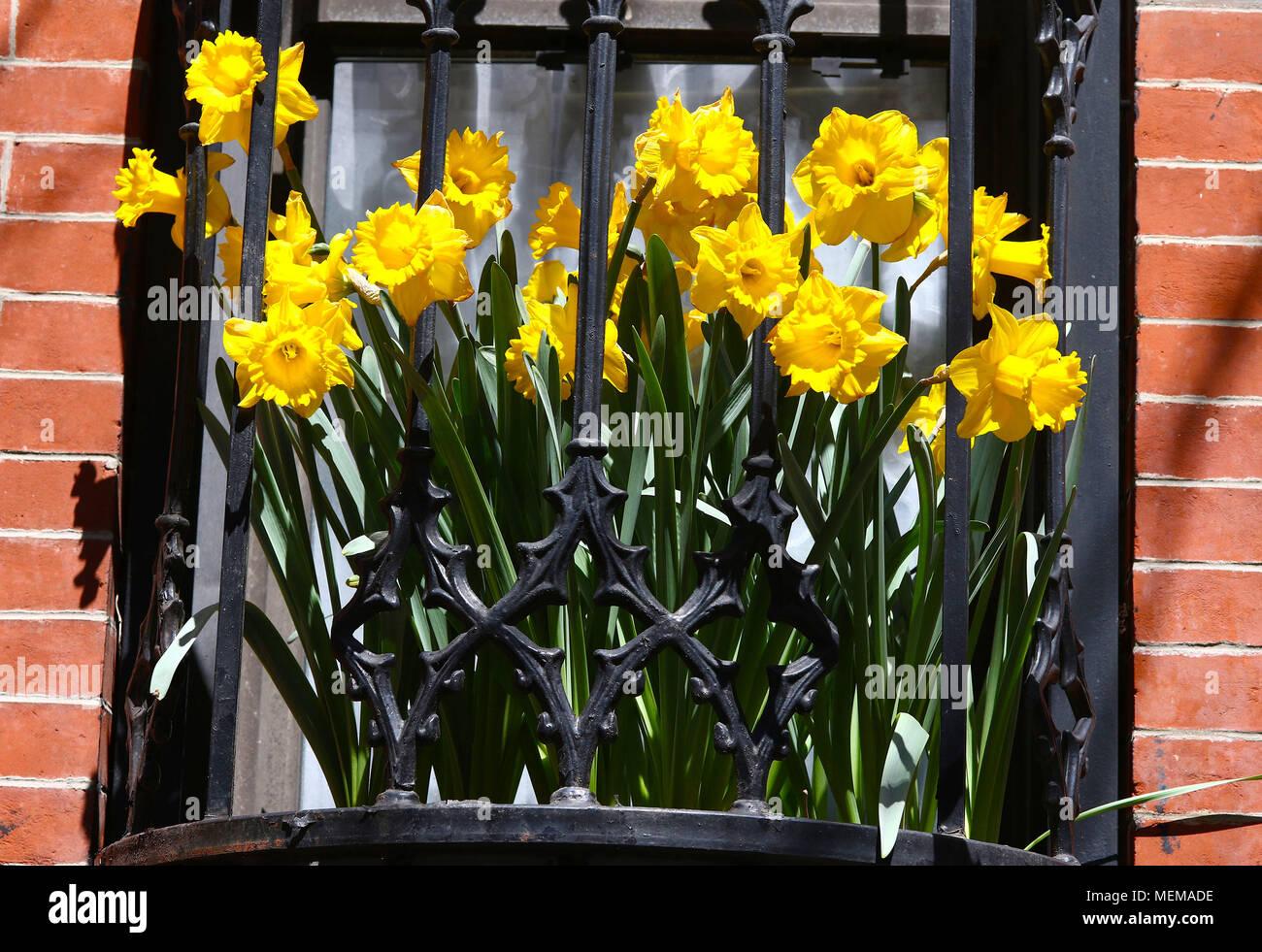 Yellow daffodils in city window box - Stock Image