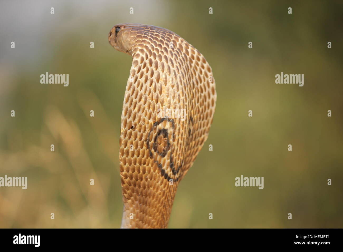 indian spectacle cobra in its aggressive possition - Stock Image